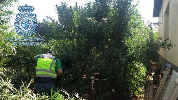 Operación contra el cultivo de marihuana en el Palmar de Troya