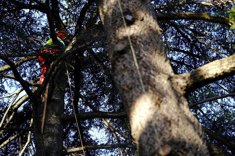 Comienza la poda de los históricos árboles del Real Alcázar