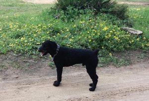 Tizón, un perro de aguas que fue un regalo de Navidad y en apenas unos meses ya había llegado a la Asociación.