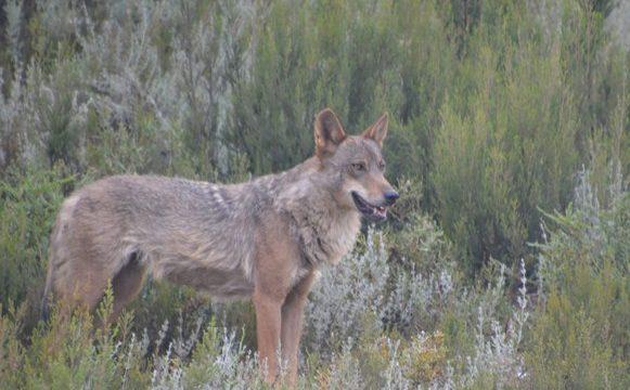 Un estudio resalta cómo proteger al lobo ibérico en Sierra Morena
