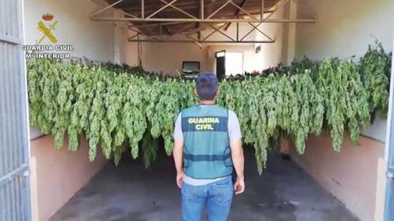 Dos detenidos por cultivar 1.200 plantas de marihuana en un invernadero de El Cuervo
