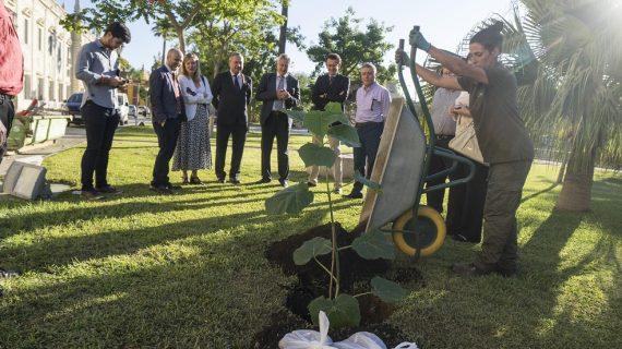 La US planta un híbrido de Paulownia, aliado ideal ante el cambio climático