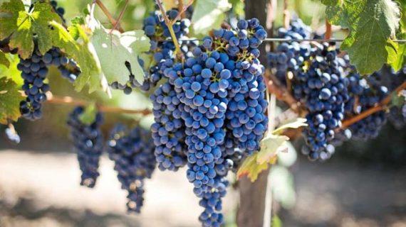 Investigado por el hurto de tres toneladas de uva tras ser sorprendido por el dueño de la finca