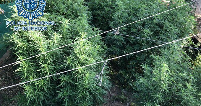 Detenidos los responsables de una plantación de marihuana en una finca de Morón de la Frontera