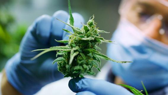 Sevilla producirá en 2020 marihuana con fines medicinales