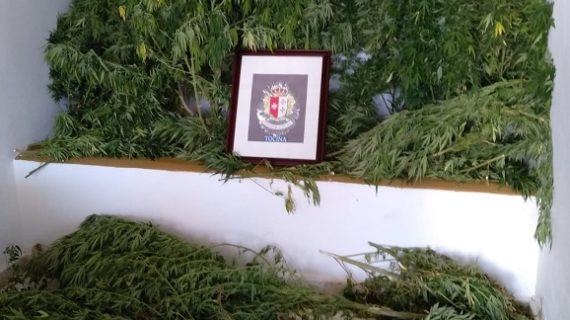 Incautados más de 23 kilos de marihuana en cuatro plantaciones de Tocina