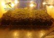 Desmantelada una plantación de marihuana en un cortijo de El Coronil con 1.380 cultivos