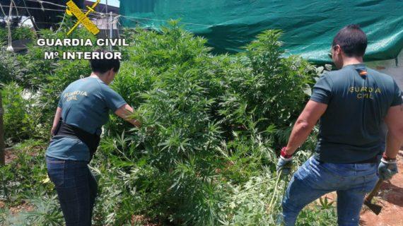 Desmantelan una plantación de marihuana con casi 1.700 plantas en Utrera