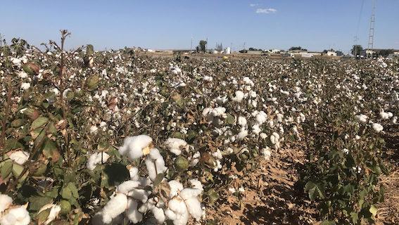 El algodón sevillano volverá a conquistar los mercados de Asia