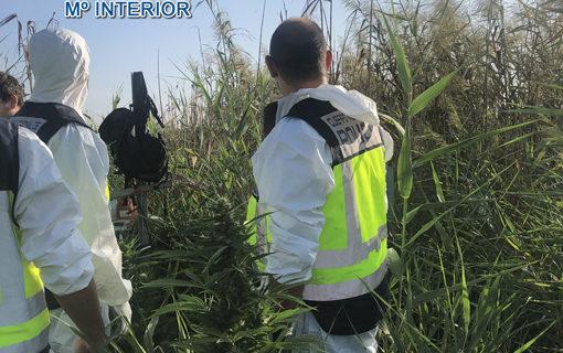 Desmantelan una plantación con 550 plantas de marihuana en Doñana dentro del término municipal de Isla Mayor