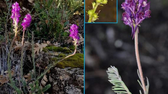 Un catedrático de la UPO y sus colaboradores descubren una nueva especie de planta