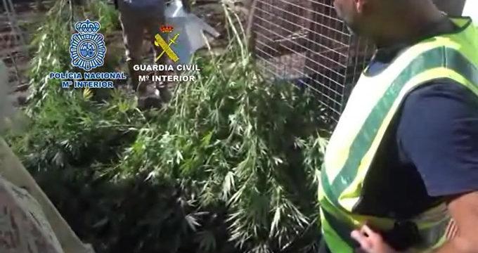 Detienen a 22 personas dedicadas al cultivo de marihuana en El Palmar de Troya