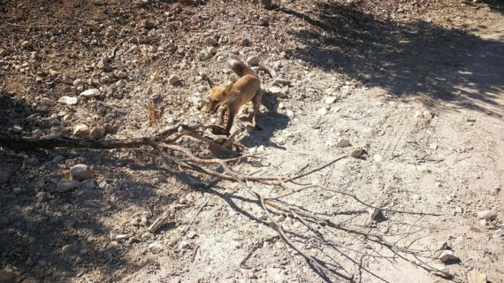 Liberado un zorro atrapado en un cepo en un paraje de Osuna