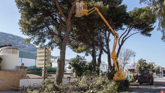 Los árboles de Estepa se podan por seguridad