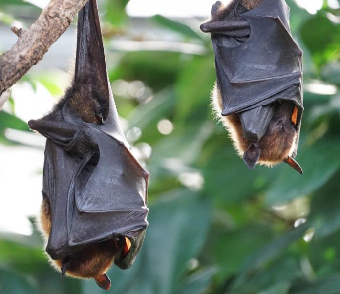 Coria de Río utilizará murciélagos para eliminar los mosquitos del virus del Nilo