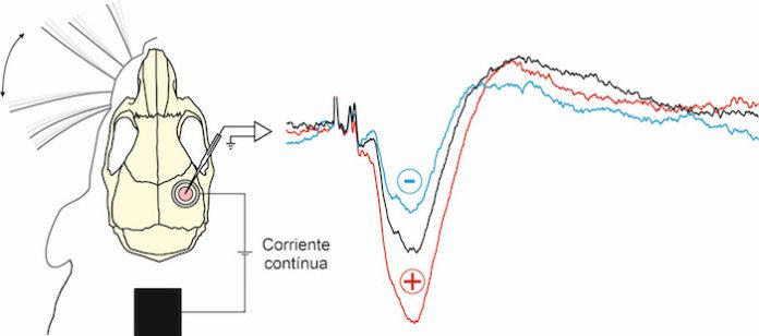 Investigadores de la UPO estudia los efectos de la estimulación eléctrica transcraneal en ratones