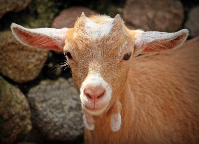 Andalucía, territorio libre de brucelosis bovina y ovina-caprina