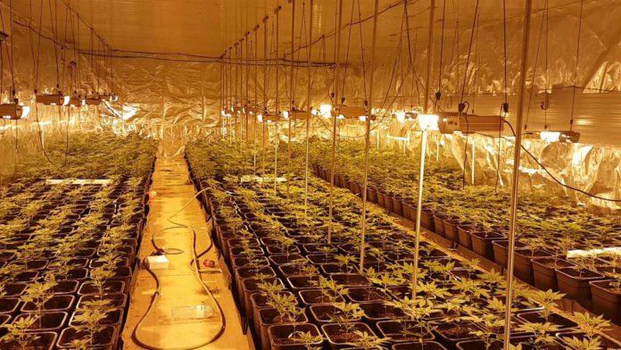 Dos personas detenidas e intervenidas 2.000 plantas de marihuana en una nave de Salteras